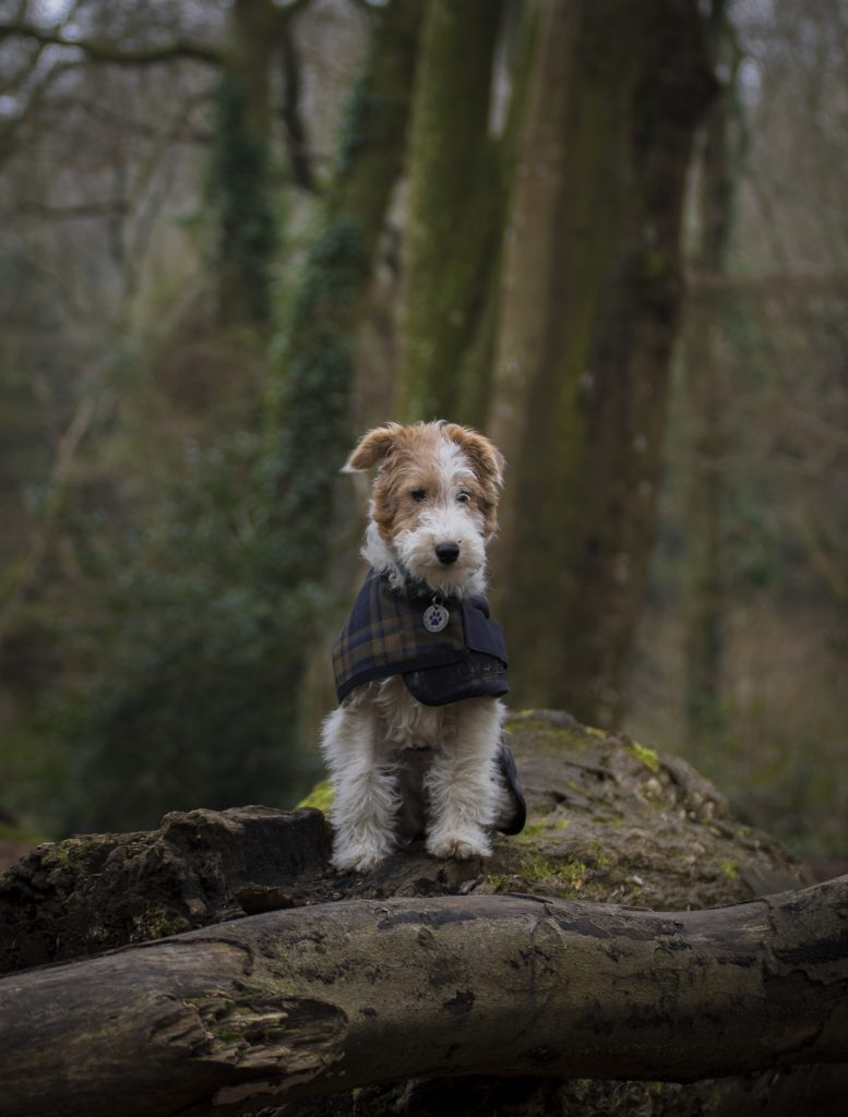 Wire fox terrier dog in forest