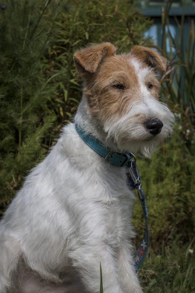 Wire Fox terrier dog. Photographing your pet.