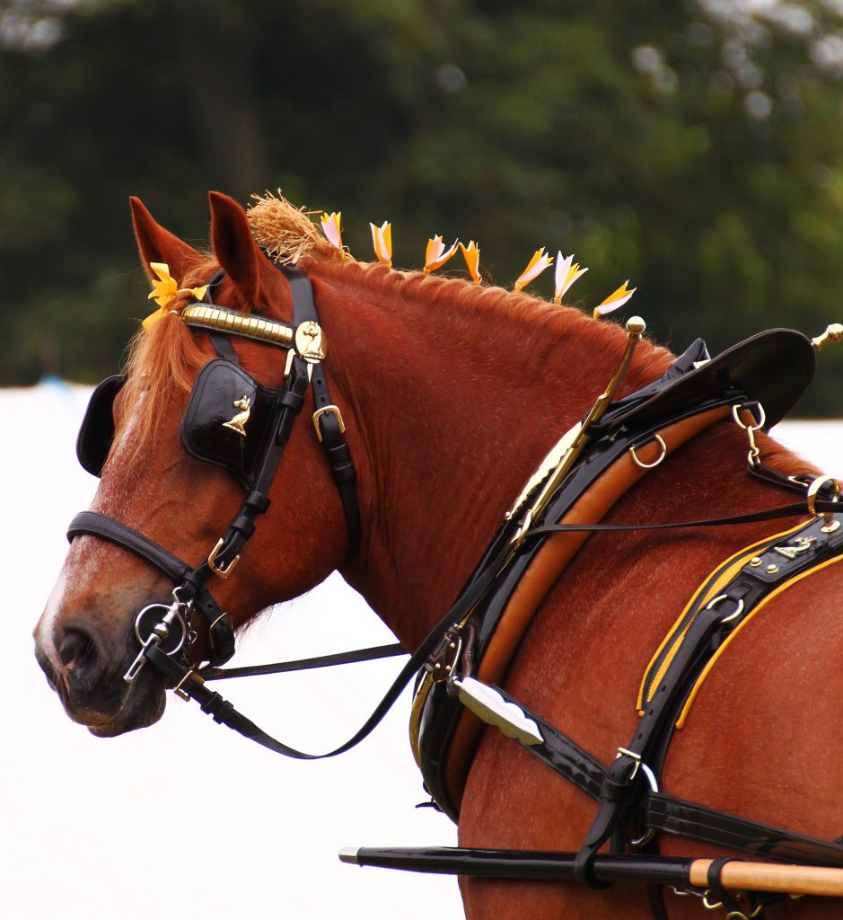 Suffolk Punch horse in harness. Photographing your pet.