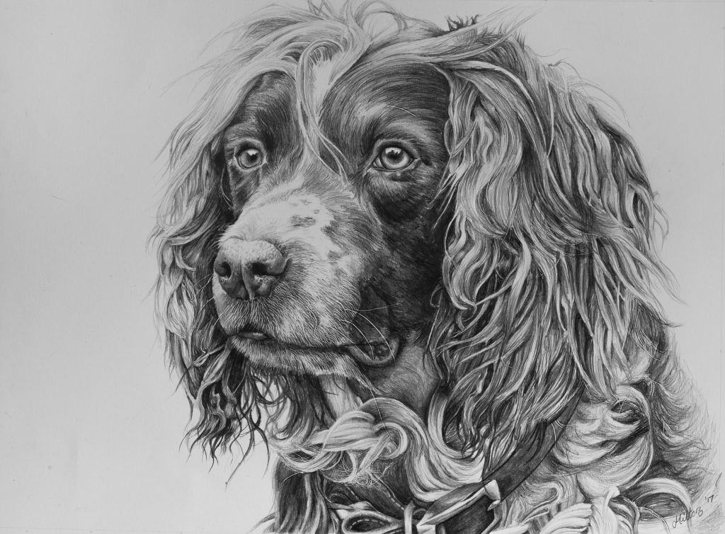 Springer Spaniel drawing by Jessica Hilton