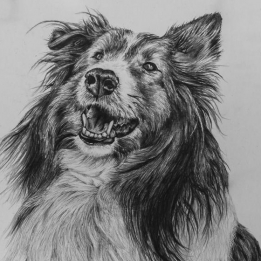 Sheep dog drawing by Jessica Hilton