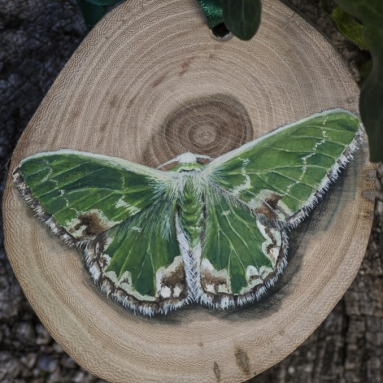 Blotched emerald moth painting on an elm wood disc