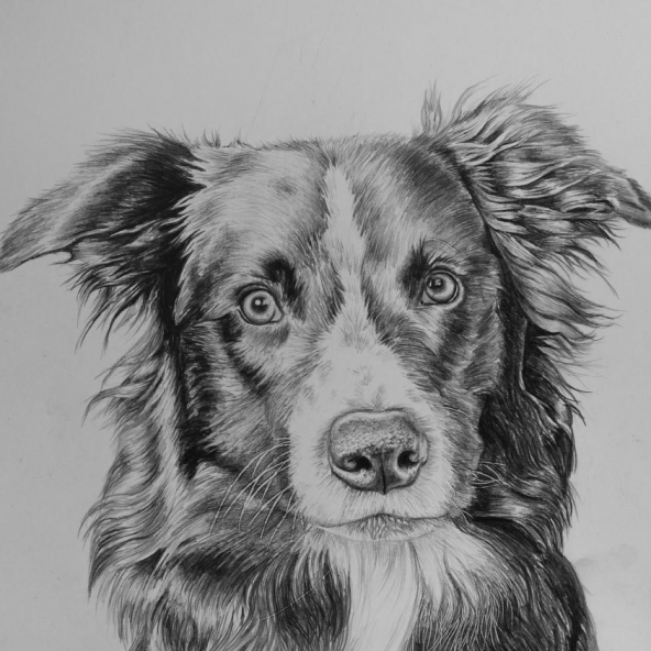 Border Collie drawing by Jessica Hilton