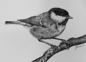 Coal Tit drawing by Jessica Hilton