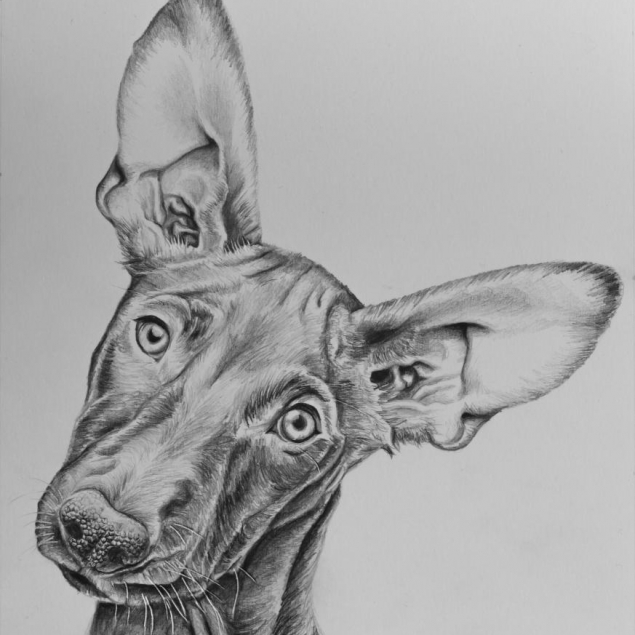 Pharaoh Hound drawing by Jessica Hilton