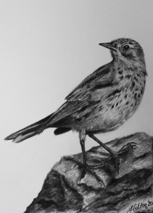Pipit drawing by Jessica Hilton