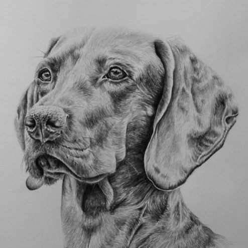 Vizsla drawing by Jessica Hilton