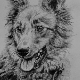 Basque shepherd dog drawing by Jessica Hilton