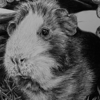 Guinea pig drawing by Jessica Hilton